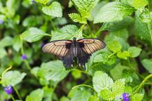 Closeup Of A Papilio Memnon Bu...