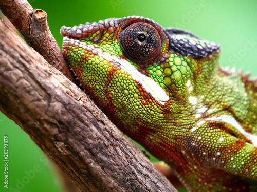 Deurstickers Kameleon Caméléon
