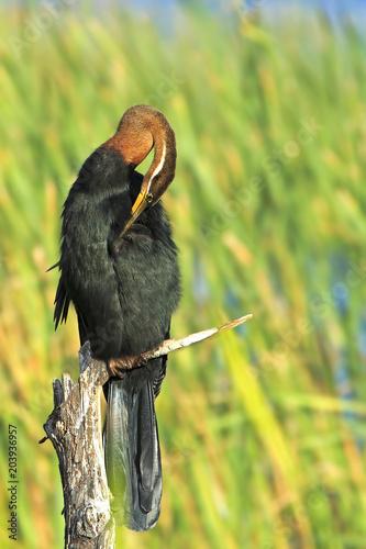 Fotografie, Obraz  Darter preening on a perch