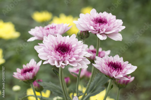 Foto Beautiful pink chrysanthemum blossoming in the garden.