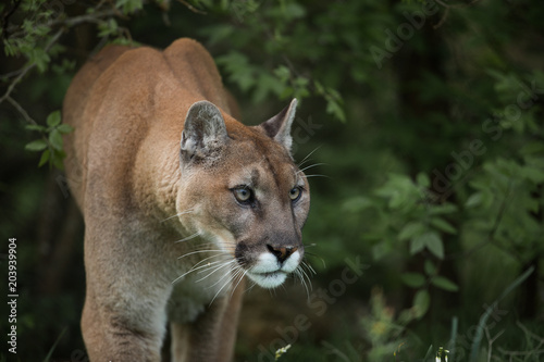 Spoed Fotobehang Puma Mountain Lion