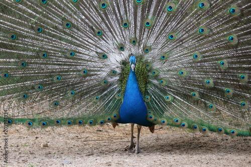 Foto op Plexiglas Pauw Beautiful peacock with stunning tail