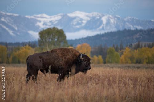 Foto op Aluminium Buffel Bison in Jackson Hole