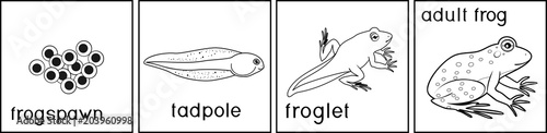 Fotografie, Obraz Coloring page. Life cycle of frog with titles