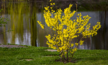 Blooming Forsythia In Early Sp...