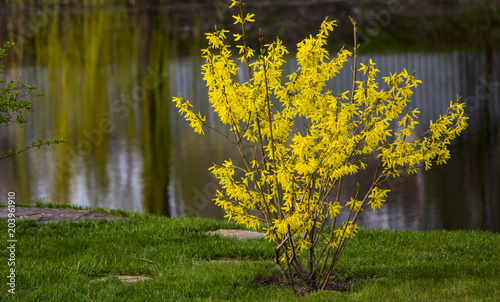 Photo Blooming forsythia in early spring, yellow flowers