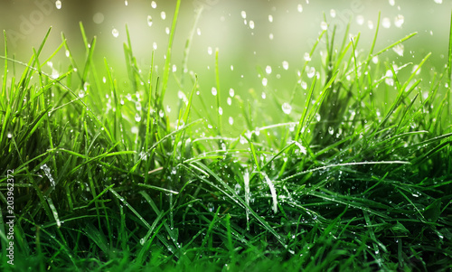 Photo sur Aluminium Herbe vivid natural background of juicy green grass and dripping rain on a spring day