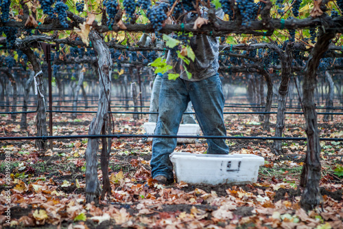 Valokuva Grape harvest with vineyard worker