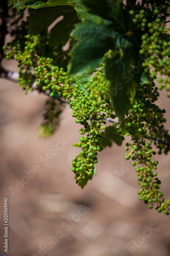 Fotografie, Obraz  Grape Cluster on Vine