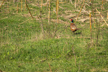 """The Common Pheasant (Phasianus Colchicus) Is A Bird In The Pheasant Family (Phasianidae). The Genus Name Comes From Latin Phasianus, """"pheasant"""". The Species Name Colchicus Is Latin For """"of Colchis"""""""