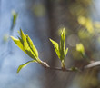 Early spring leaves on a branch with a blurred background with sun beams