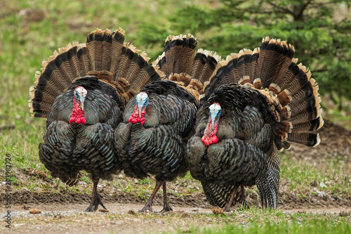 Three  Turkeys (jakes) Strutting фототапет