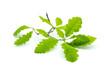 canvas print picture - Eichenblatt Blatt grün isoliert freigestellt auf weißen Hintergrund, Freisteller
