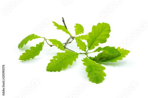 Eichenblatt Blatt grün isoliert freigestellt auf weißen Hintergrund, Freisteller