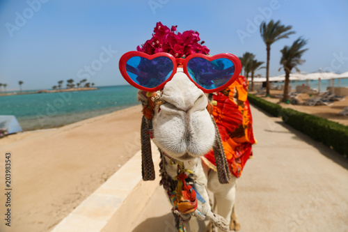 Keuken foto achterwand Kameel Funny camel with heart shaped sunglasses dressed in red costume entertaining tourists