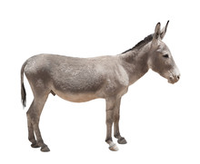 Donkey Isolated A On White Ba...