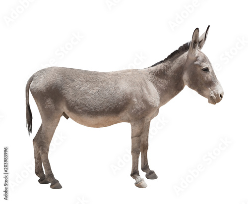 Montage in der Fensternische Esel Donkey isolated a on white background