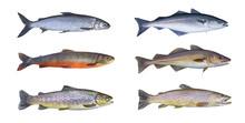Norway Fish Set. Whitefish, Arctic Char, Brook Brown Trout, Pollock Fish, Coalfish, Saithe, Cod Fish Isolated On White Background