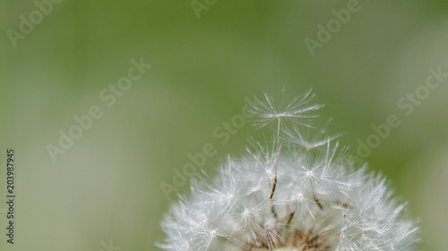 Staande foto Paardebloemen en water dandelion seed