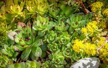 Sedum Plants, Sempervivum Succ...