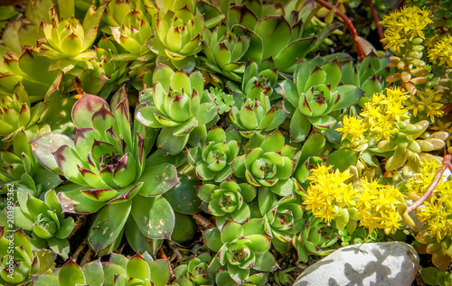 Sedum Plants Sempervivum Succulent Rockery Plants With Yellow