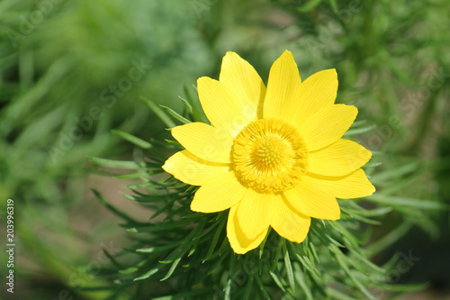 Yellow flower of spring pheasant's eye (Adonis vernalis) on green background Canvas Print