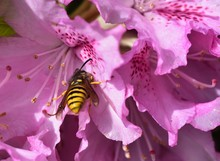 Wasp And The Rhododendron