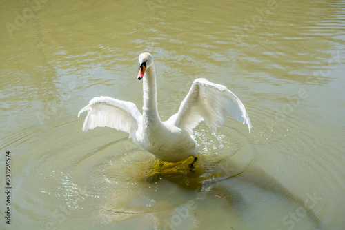 Foto op Canvas Zwaan Single swan lives in the pond