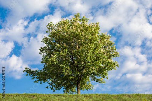 Horse-chestnut tree