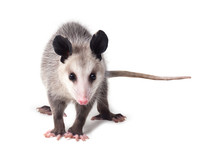 Young Virginian Opossum (Didel...