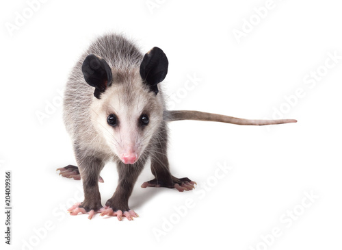 Young Virginian opossum (Didelphis virginiana) stands on a white background and looks at the camera. Isolated