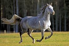 Playful Gray Dapple Arabian Mare Galloping In Field.