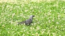 Jackdaw Bird