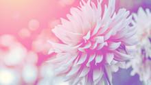 Background Nature Flower Dahli...