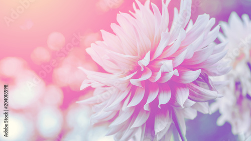 Spoed Foto op Canvas Dahlia background nature Flower dahlia pink. pink flowers. background blur
