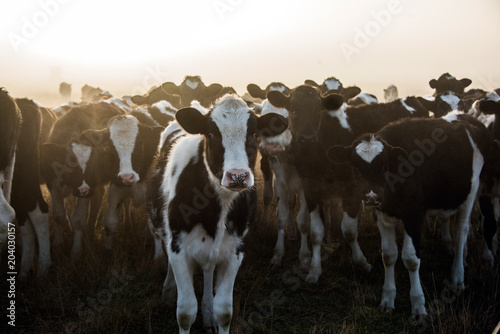 Cow standing in front of others during a misty morning.