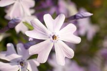 Wild Phlox Flowers In Bloom Close-up