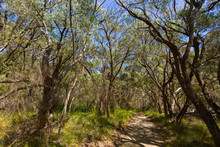 High Tall Coastal Peppermint Tree Along Path Leading To Two Peoples Bay In Albany, Australia. .