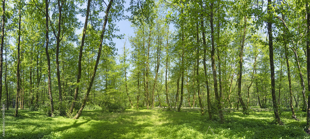 Fototapety, obrazy: Sunny morning in the summer forest