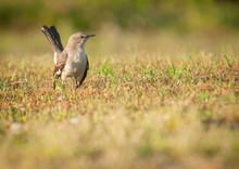 Mockingbird Portrait (Mimus Polyglottos)