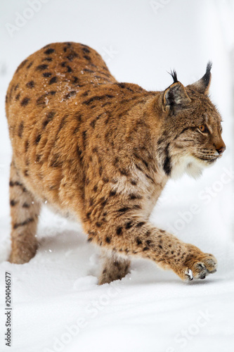Staande foto Lynx Luchs (Lynx lynx) im Winter im Tier-Freigelände im Nationalpark Bayrischer Wald, Deutschland.