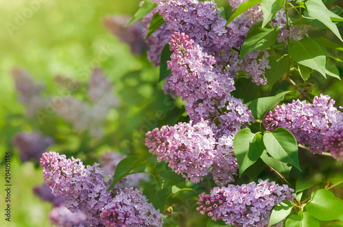 Foto op Canvas Lilac Green branch with spring lilac flowers, selective focus.