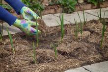 Garlic Grows In The Garden Und...