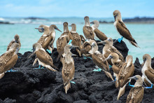 Blue Footed Boobies On A Rock, Isabela Island, Ecuador