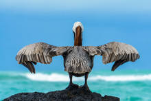 Brown Pelican On A Rock, Isabela Island, Galapagos, Ecuador