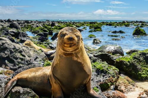 Fototapeta premium Mała foka na plaży Mann, wyspa San Cristobal, Ekwador