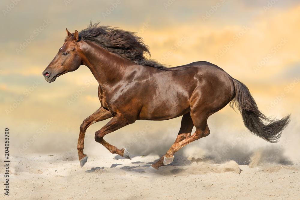 Red stallion with long mane run in sandy dast