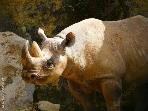 Tuinposter Neushoorn Rhinocéros