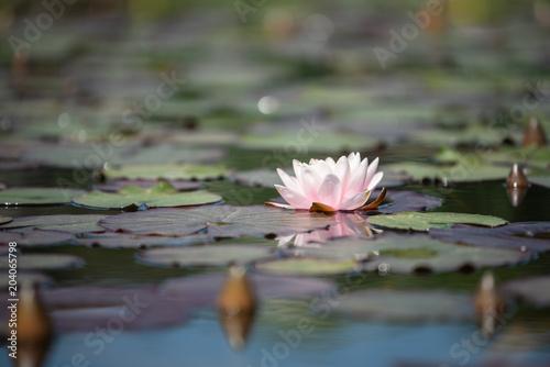 Poster Waterlelies Seerosenblüte mit Knospen im Biotop