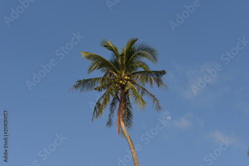 Keuken foto achterwand Palm boom Nice palm tree with coconut in the blue sunny sky
